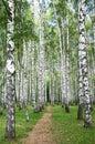 Pathway in autumn burch forest