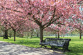 Pathway with benche under pink blossoms in greenwich park trees blossoming flowers over benches on london Royalty Free Stock Photo