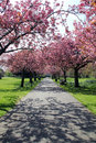 Pathway with benches under pink blossoms in Greenwich Park Royalty Free Stock Photo