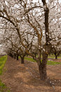 Pathway through blooming almond orchard with pink and white blossoms and drip irrigation Royalty Free Stock Photos