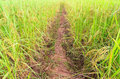 Pathway in rice field pathways paddy thailand Royalty Free Stock Photos