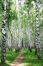 Pathway in the summer birch grove july Royalty Free Stock Image