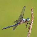 Patience blue eyed dragonfly waiting for an insect to fly by Royalty Free Stock Photography