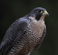 Patient peregrine falcon a falco peregrinus perched on a stump these birds are the fastest animals in the world Royalty Free Stock Photo