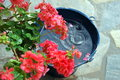 Patio still life geranium and bucket in the rain Royalty Free Stock Image