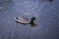 Pato silvestre duck drake Fotografía de archivo libre de regalías
