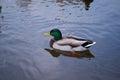 Pato silvestre duck drake Imágenes de archivo libres de regalías