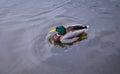 Pato silvestre duck drake Fotos de archivo