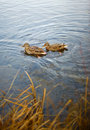 Patos no lago Imagens de Stock Royalty Free