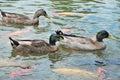 Patos y pescados Imagenes de archivo