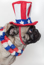 Patriotic American pug dog Stock Photos