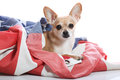 Patriotic chihuahua Royalty Free Stock Photography