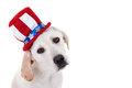 Patriotic puppy dog labrador retriever isolated on white with copy space for your text Stock Photos