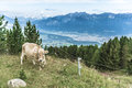 Patscherkofel peak near innsbruck tyrol austria cow grazing at mountain and ski area of in region south of in western Royalty Free Stock Photos