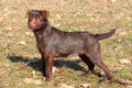 Patterdale Terrier Dog In A Au...