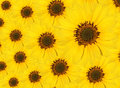 A pattern developed from sun flowers Royalty Free Stock Photos