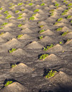 Pattern of field with vegetables growing on volcanic earth Royalty Free Stock Photography
