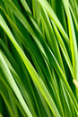 Pattern of green grass the Royalty Free Stock Photography