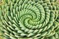 Pattern of spiral aloe Royalty Free Stock Photo