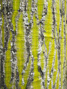 Patterns in Pseudobombax septenatum tree bark Royalty Free Stock Photo