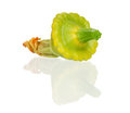 Patty pan squash Royalty Free Stock Photos