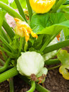 Pattypan squash growing on vegetable bed. Custard marrow - a pla Royalty Free Stock Photo