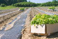 Paulownia tree seedlings in the boxes on the field ready for planting Royalty Free Stock Photo