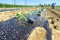 Paulownia tree seedlings ready from plantation young being planted on the field Stock Images