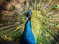 image photo : Male Indian peacock