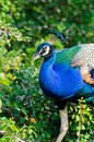 Pavo cristatus Royalty Free Stock Photos