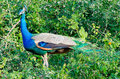 Pavo cristatus Royalty Free Stock Photo