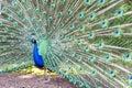 Pavo cristatus, peacock taken head on Royalty Free Stock Photo