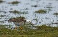 Pavão do mar no wedland pugnax do philomachus Imagem de Stock
