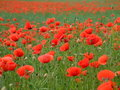 Pavots rouges en France Photographie stock