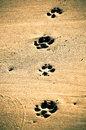 Paw prints at beach dog print in wet sand Stock Photography
