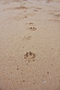 Pawprints on the beach many dog paw prints Royalty Free Stock Photography