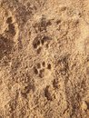 Pawprints in the sand Royalty Free Stock Photo
