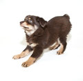 Payful aussie puppy cute ready to play on a white background Stock Photography