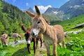 Paysage de valey de montagne avec des ânes Image stock