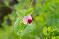 Pea flower blooming Royalty Free Stock Photo