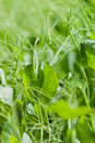 Pea plants home garden closeup of growing tall with a out of focus green natural background Stock Photos