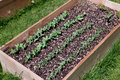 Pea plants in raised bed a wooden garden with rows of growing the soil Royalty Free Stock Photo