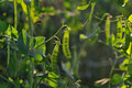 Pea pods close up. Royalty Free Stock Photo