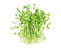 Pea sprouts bundle of fresh on white background Royalty Free Stock Images