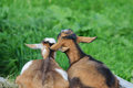 Peace a couple of goats resting against each other ears intertwine looking away Stock Photos