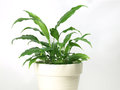 Peace lily indoor Royalty Free Stock Image