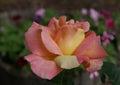 Peace rose Royalty Free Stock Photo