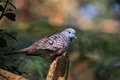 Peaceful dove roosting a pigeon native to australia called or zebra in a tree Royalty Free Stock Photo