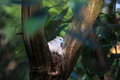 Peaceful dove in tree forest detail with a pigeon native to australia called or zebra roosting a Royalty Free Stock Image