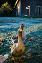 Peaceful geese in autumn light nordic forest Stock Images